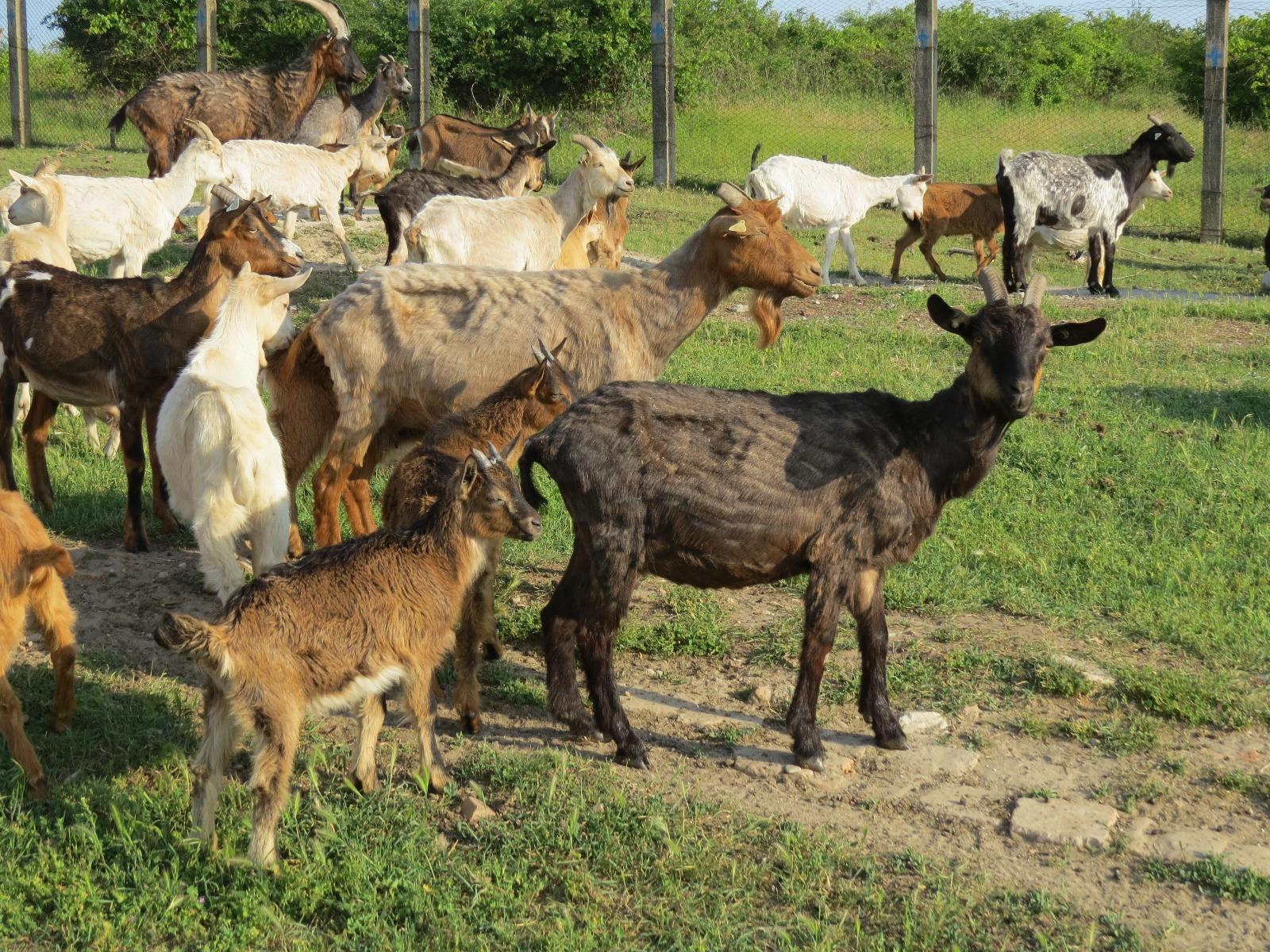 """Eminescu:""""Abia de 150 de ani am devenit agricultori. Suntem un popor de pastori>"""