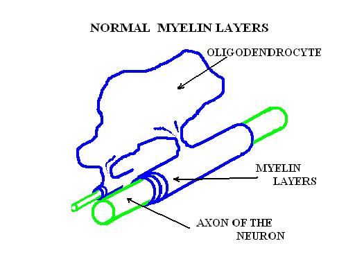 Teaca de mielina normala - schita