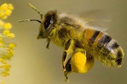 Albina la cules de polen