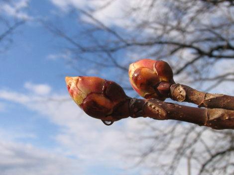 Mugurii: principala sursa de materie prima pt propolis