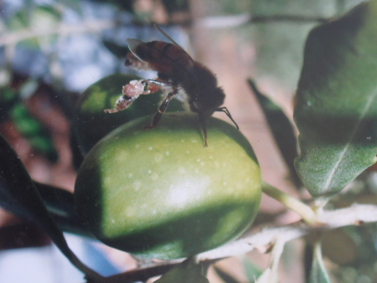 La recolata de propolis