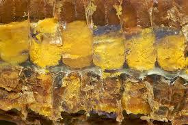 Celule cu polen in curs de transformare in pastura