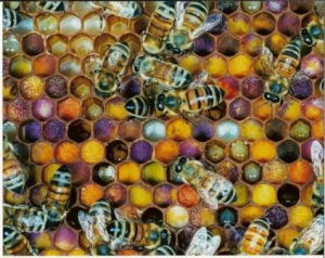 Fagure cu polen proaspat depus