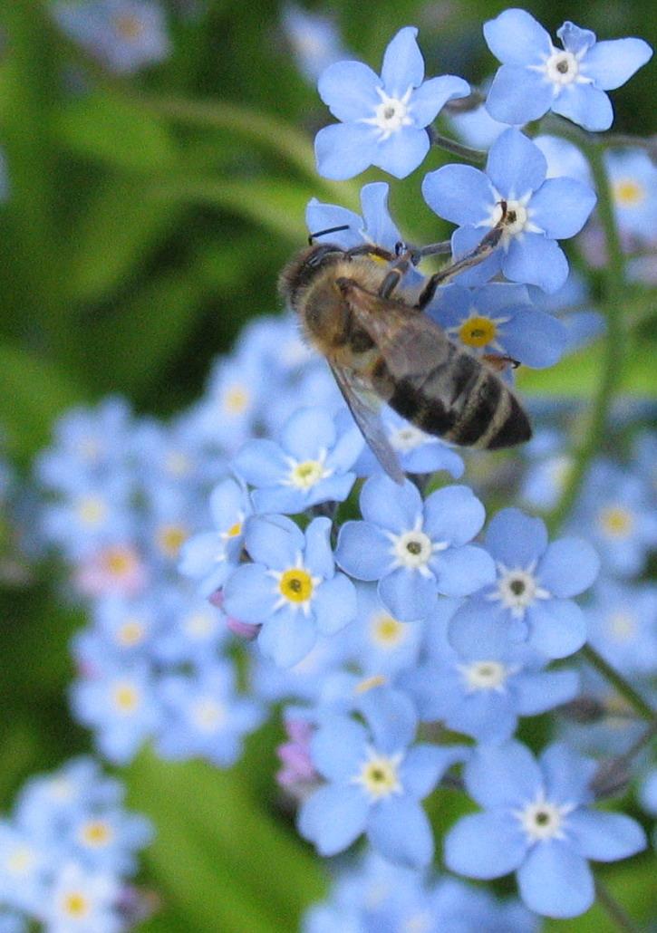 Albina pe Miosotis