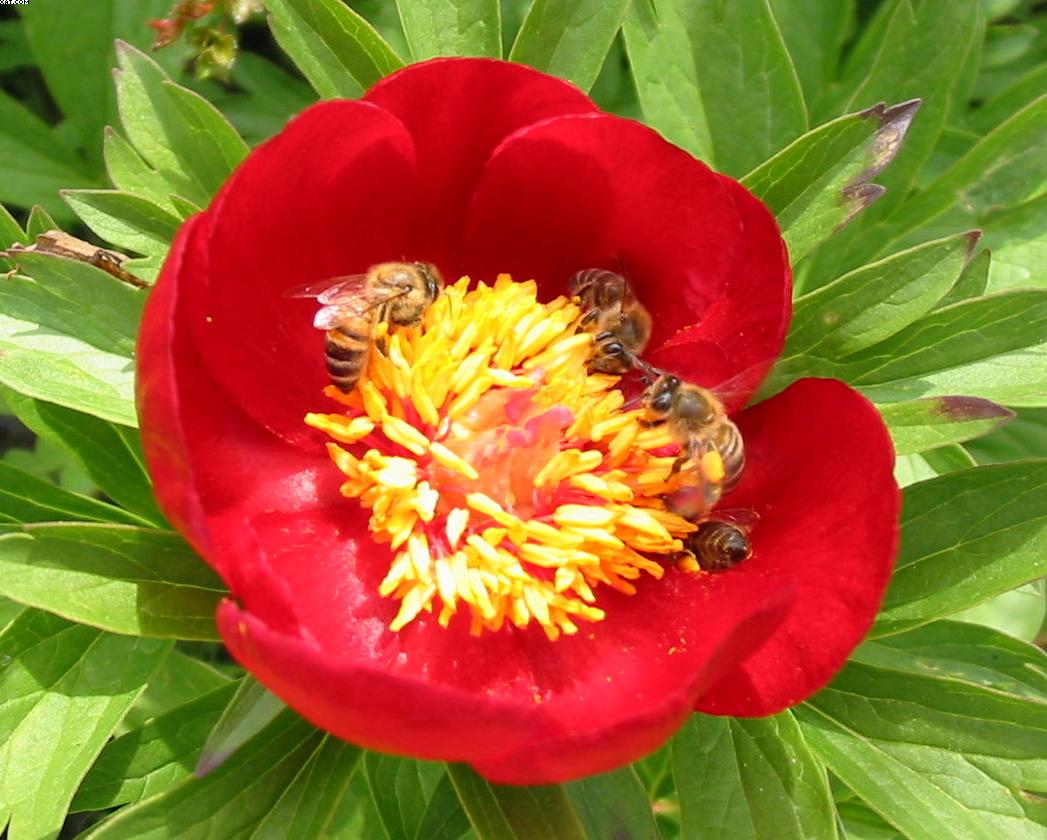 Cule de polen pe bujor